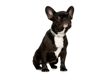 french-bulldog