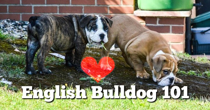 english-bulldog-101