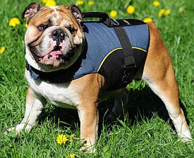 bulldog in a harness