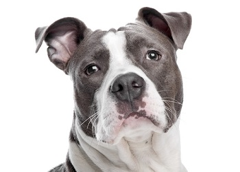 american-staffordshire-terrier