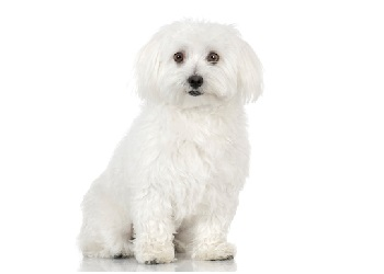 lifespan of a maltese maltese dog breed information facts lifespan 8984