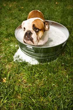 bathing-bulldog