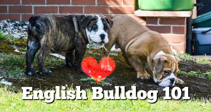 english-bulldog-101