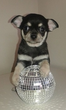 gorgeous-puppy