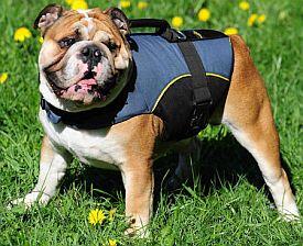 bulldog in a harness