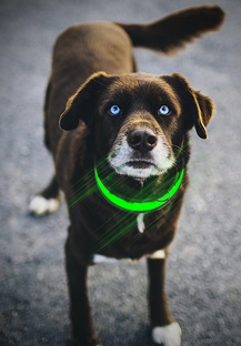 dog-wearing-led-collar